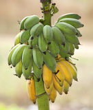 Bunch of ripening bananas Royalty Free Stock Photography