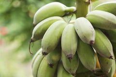 Bunch of ripening bananas Stock Image