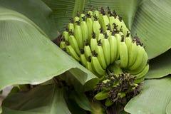 Bunch of ripening bananas Royalty Free Stock Photos