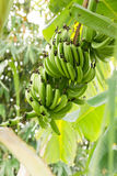 Bunch of ripening bananas Royalty Free Stock Photos