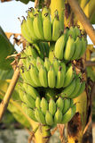 Bunch of ripening bananas Royalty Free Stock Image