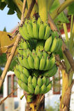Bunch of ripening bananas Royalty Free Stock Images
