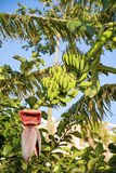 Bunch of ripening bananas on tree Stock Images