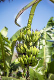 Bunch of ripening bananas on tree. Bunch of ripening green bananas on tree royalty free stock image