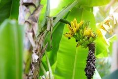 Bunch of ripening green apple bananas on a banana tree in Big Island of Hawaii. USA Stock Photography