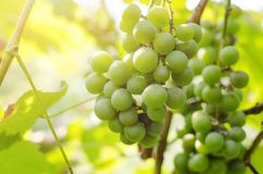 Bunch of ripening green grapes in sunlight.  royalty free stock photography
