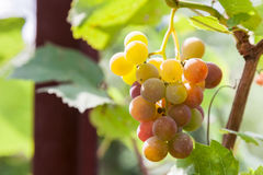 Bunch of ripening wine grapes Royalty Free Stock Image