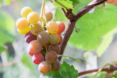 Bunch of ripening wine grapes Royalty Free Stock Photos