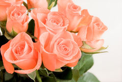 Bunch of rose flowers. With dew in pink color Stock Images