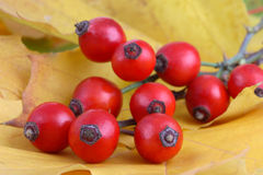 Bunch of rose hips Stock Photo