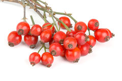Bunch of rose hips Royalty Free Stock Images