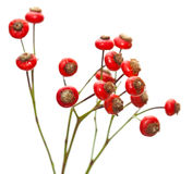 Bunch of rose hips isolated Stock Images