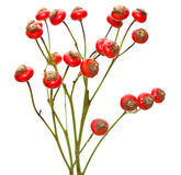 Bunch of rose hips isolated Royalty Free Stock Photography