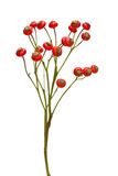 Bunch of rose hips isolated Stock Image