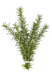 Bunch of Rosemary over White. Bunch of fresh rosemary, isolated on white background Royalty Free Stock Image