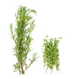 Bunch of rosemary and thyme Royalty Free Stock Photography