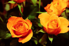 Bunch of roses 1. Close up af a bunch of dreamy golden roses stock images