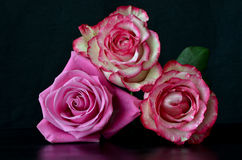 Bunch of roses. Against a black background royalty free stock images