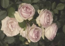 Bunch of Roses of Ancient Charm stock photos