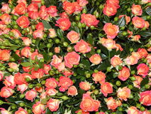 A bunch of roses as a flower background. The shot was made at the international flower exhibition in Moscow in September,2013 stock photography
