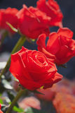 Bunch of roses Royalty Free Stock Image