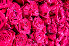 The bunch of roses with water drops. The bunch of red roses with water drops Stock Photos