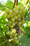 Bunch rot grapes infection. Stock Images