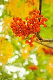 Bunch of rowan. In the shape of a heart royalty free stock photography