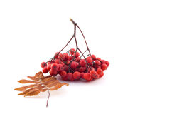 Bunch of rowan with autumn leaves. On a white background Royalty Free Stock Photos