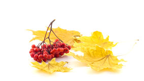 Bunch of rowan with autumn leaves on a white background. Bunch of rowan with autumn leaves Stock Photos
