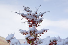 Bunch of Rowan berries on a branch under the white snow. Stock Images