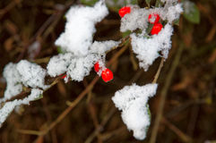 Bunch of Rowan berries on a branch under the white snow. Royalty Free Stock Photo