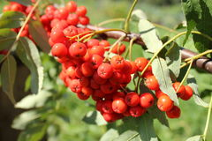 Bunch of rowan berries Royalty Free Stock Photos
