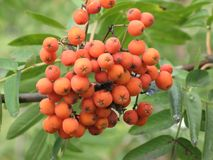 Rowan berries bunch. Bunch of rowan berries and green leaves on a tree branch in the garden royalty free stock images