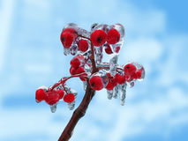 Bunch of rowan berries after ice rain Royalty Free Stock Photos