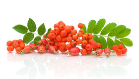 Bunch of rowan berries and rose hips on a white Royalty Free Stock Image