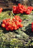 Bunch of rowan berries Royalty Free Stock Images