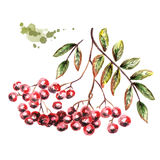 Bunch of Rowan. Watercolor illustration Royalty Free Stock Images