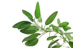 Sage over white Royalty Free Stock Photography
