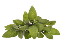 Bunch of sage leaves Stock Images