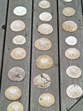 A Bunch of Sand Dollars. On a Wooden Board Royalty Free Stock Images