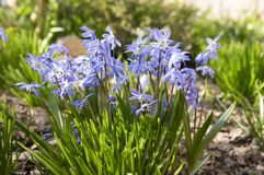 Bunch of Scilla siberica, early spring blue flowers in bloom in garden bed. Bulbous flower with leaves in sunlight Royalty Free Stock Image