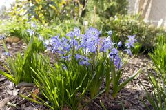 Bunch of Scilla siberica, early spring blue flowers in bloom in garden bed. Bulbous flower with leaves in sunlight Stock Image