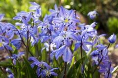 Bunch of Scilla siberica, early spring blue flowers in bloom in garden bed. Springtime garden Stock Photo