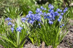 Bunch of Scilla siberica, early spring blue flowers in bloom in garden bed. Springtime garden Royalty Free Stock Photography
