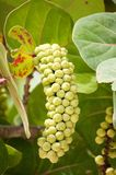Bunch of sea grapes Royalty Free Stock Image