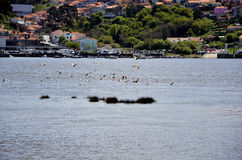 Bunch of seagulls flying over the river Royalty Free Stock Photo