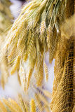 Bunch or sheaf of wheat ears hanging outdoor Royalty Free Stock Image