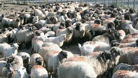 Bunch of sheep resting Stock Photo