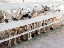 Bunch of sheeps crowded on fence. Waiting for food Stock Photos